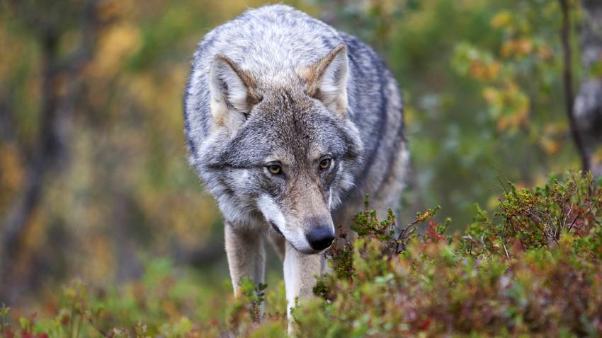 Кавкаски вукови нису толико агресивни као што се мисли. То показује и пример Јасона Бадридзеа.