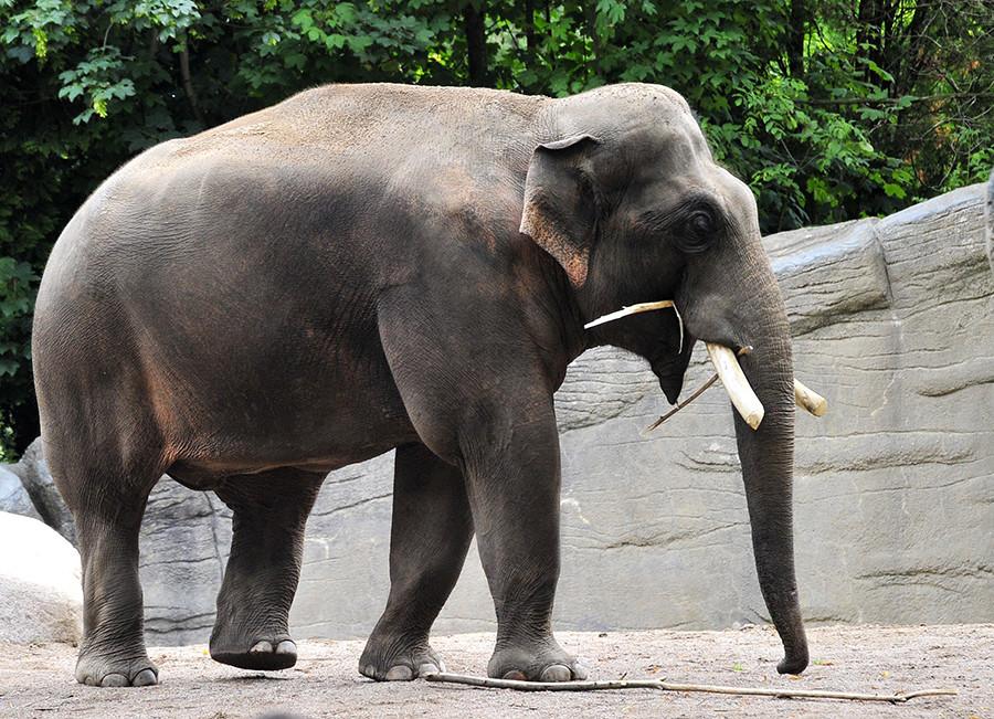 Un elefante hambriento asaltó una panadería a principios de los años 20 en Moscú.