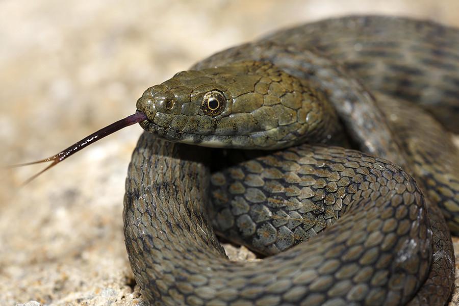 En 1934 una serpiente se escapó del zoológico y estableció su residencia en una gran pila de leña debajo de la ventana del jefe del departamento de policía local.