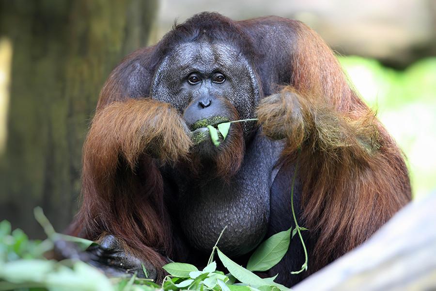 A principios de 1960, un orangután macho se escapó de su jaula y empezó a asustar a los otros habitantes de la zona de primates.