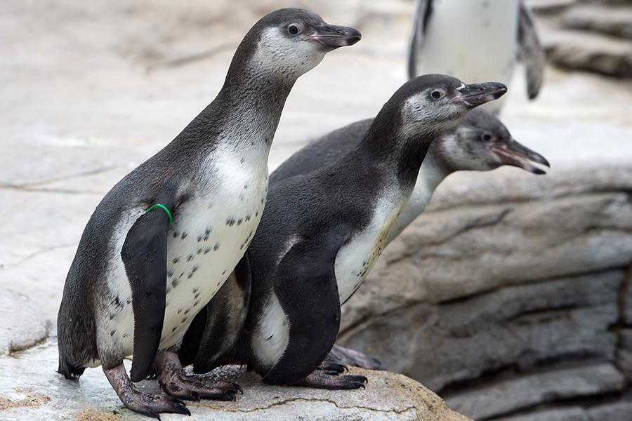 A principios de los años 60, algunas de estas avesse escaparon del zoológico y llegaron a recorrer dos kilómetros antes de ser detenidas.