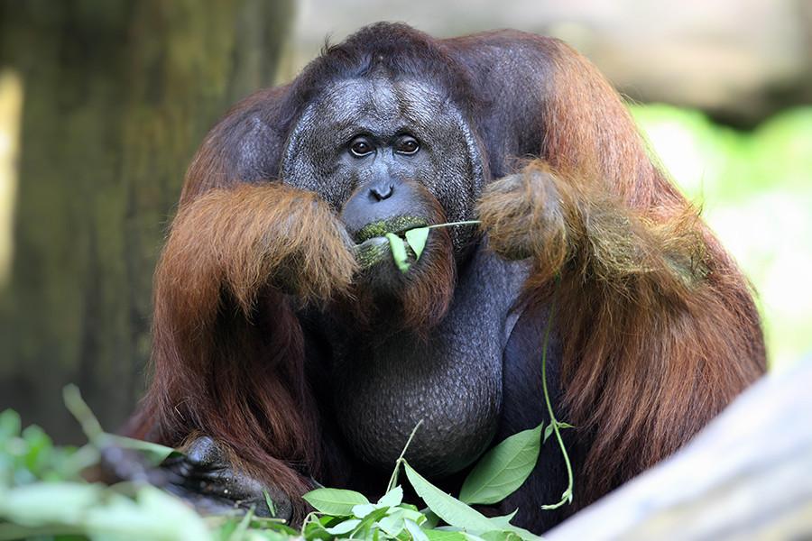 Orangutan adalah binatang yang cukup besar. Tak mudah menenangkan mereka kecuali Anda seorang veteran Perang Dunia II.
