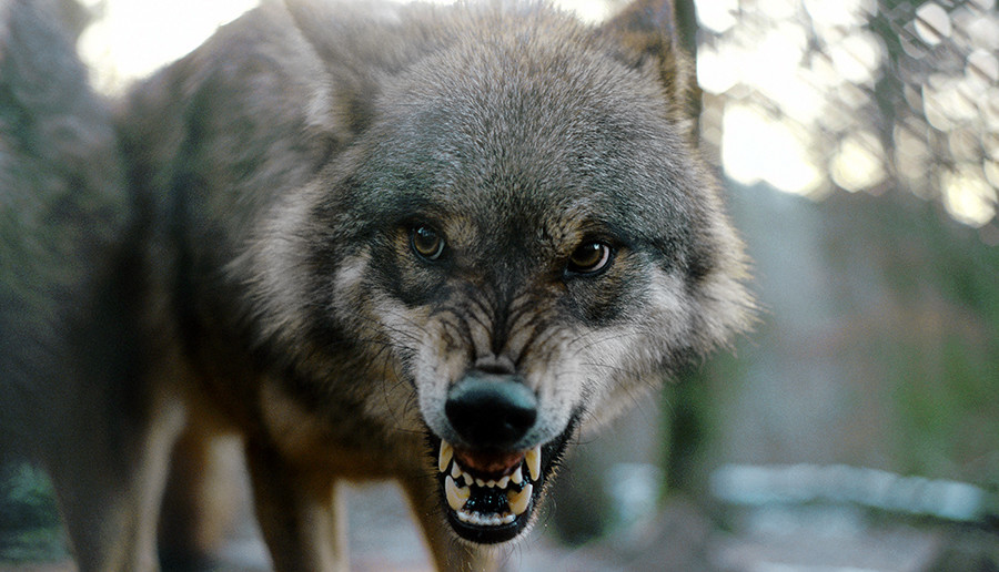 The wolves considered Badridze one of them - they even saved his life risking theirs.
