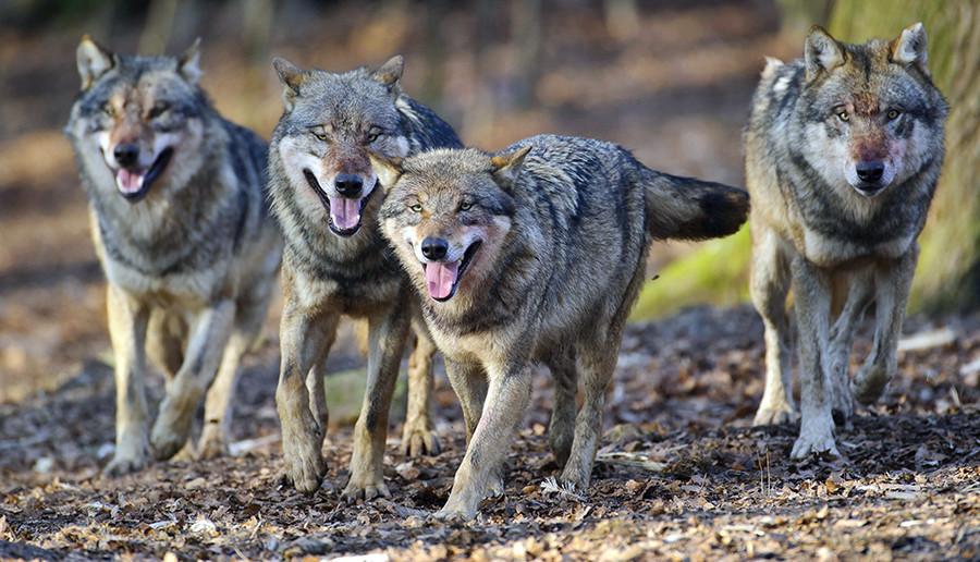 オオカミたちと過ごした数ヶ月の間ずっと、バドリゼは彼らの行動について多くのことを知った。