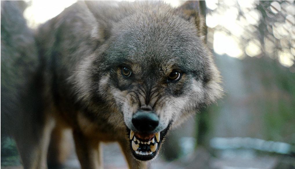 Volkovi so Badridzeja celo rešili pred napadom medveda.