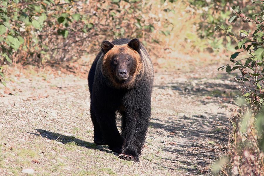 """Laut Kanadischen Forschern leben dort auch an der Westküste silberne Braunbären. Die Färbung beschere ihnen mehr Erfolg bei der Fischjagd. """"Silberne oder goldene Färbung könnte auch Merkmal einer Art sein. Aber sie entstand durch Mutation an bestimmten Stellen der Chromosomen"""", erklärt Koslowskij."""