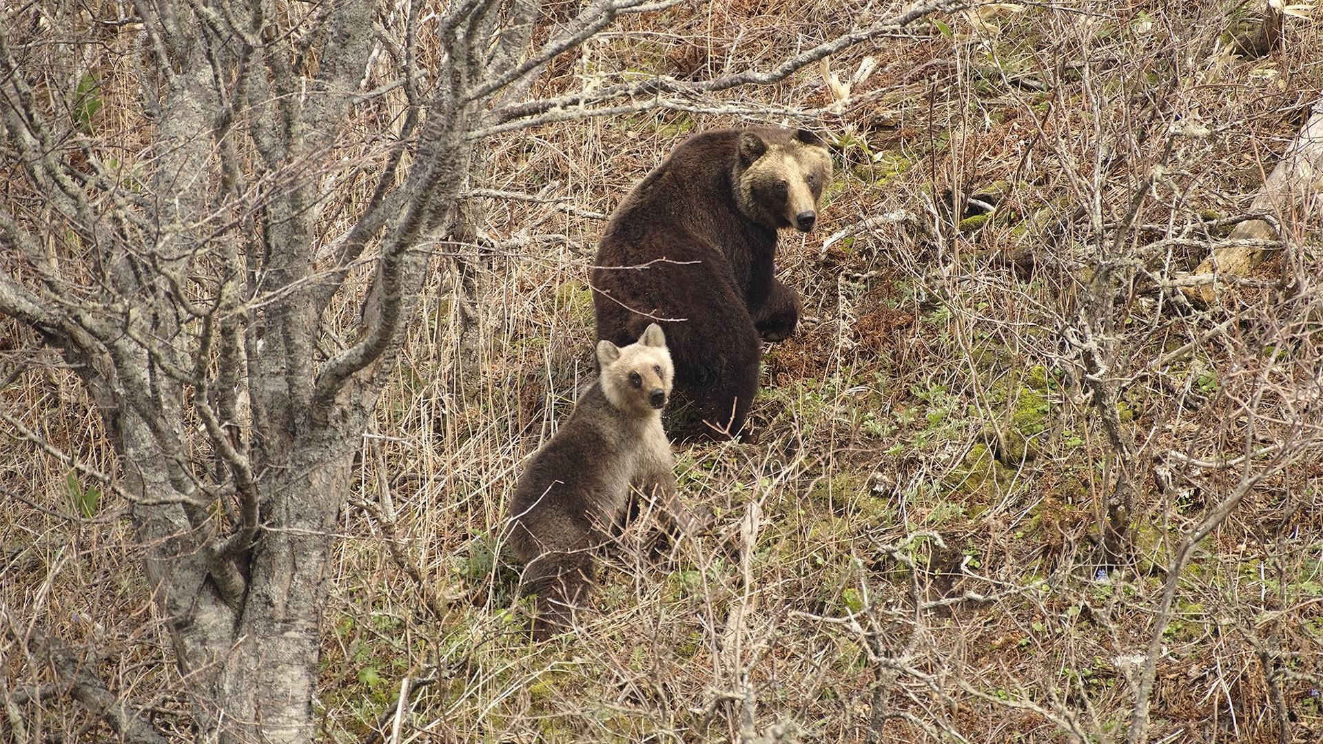 """Das Schicksal der silbernen Braunbären ist aber unklar: """"Wir beobachten sie noch nicht so lange und können darum nicht sagen, ob ihre Zahl wächst oder sinkt"""", so Koslowskij. """"Wir hoffen, dass sie nicht aussterben und wir sie öfter unter den Kurilenbären antreffen werden. Sie sehen sehr schön aus!"""""""