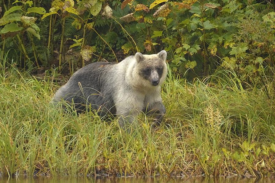 """Das Verhalten der """"Silberbären"""" unterscheide sich derweil kaum von dem der anderen. Nur einige Nationalparkwächter halten sie für weniger aggressiv."""