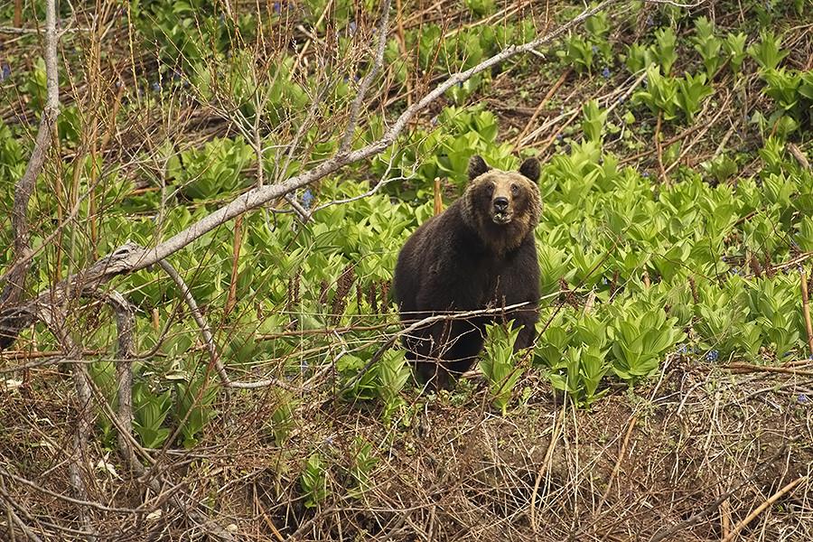 Der Direktor des Kurilen-Naturreservats, Jewgenij Koslowskij, meint, es gäbe bislang nur einige wenige dieser Bären mit silber schimmerndem Fell auf der Insel Kunaschir, etwa zehn Prozent der dort lebenden Bären. Dabei variiert die Musterung sehr: mal schimmert der Kopf, mal der ganze Rumpf.