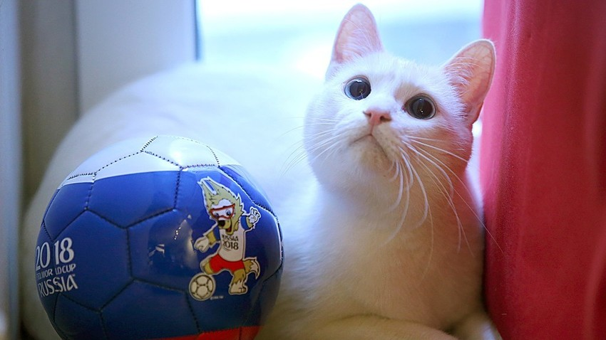 Achille le chat, pronostiqueur officiel de la Coupe du monde