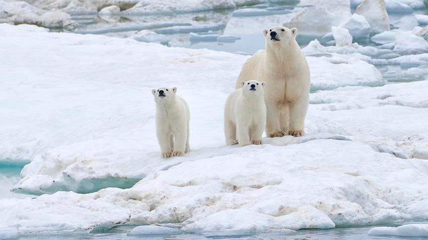 Polarni medvjed (Ursus maritimus) s mladuncima na santi leda u blizni Wrangelovog otoka, koji se nalazi na UNESCO-vom popisu mjesta svjetske baštine. Dalekoistočni savezni okrug.