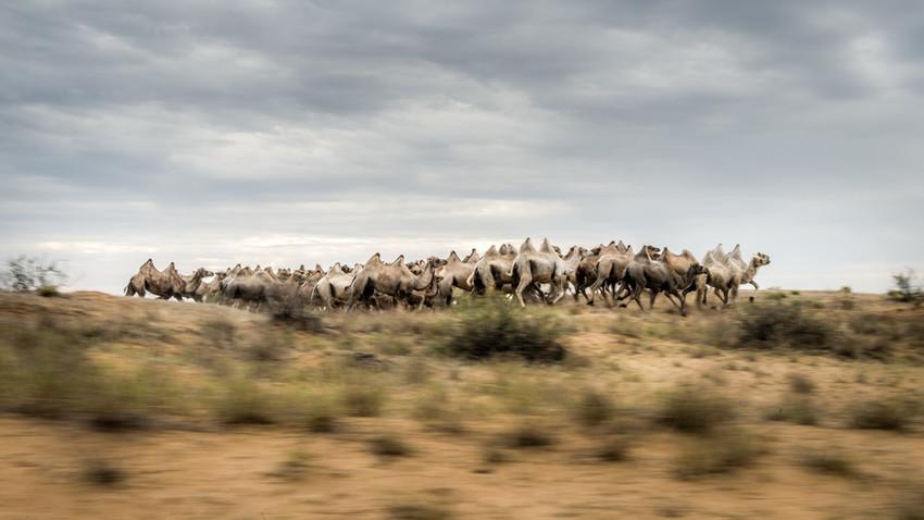 Jika Anda memiliki kawanan unta dalam jumlah kecil, biaya untuk merawat mereka jauh lebih murah daripada sapi ternak.