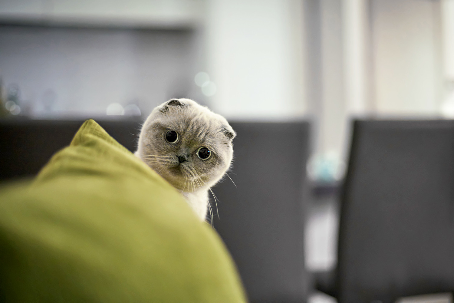 Scottish Fold cats top the searches on Avito.