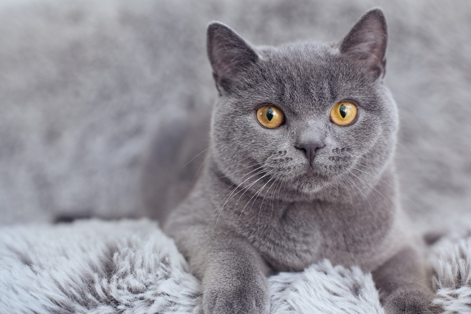 British Shorthair cats are second most popular.