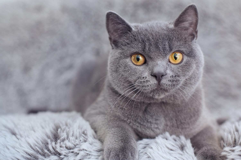 Gato de pelo curto inglês