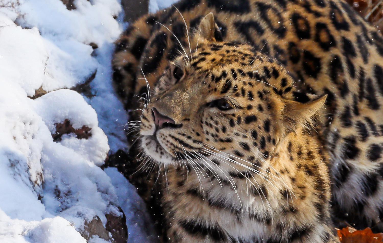 Женка далекоисточног леопарда.