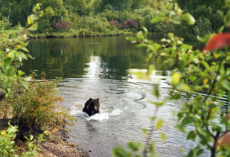 Medvjed u jednoj od rijeka koje se ulijevaju u Bajkalsko jezero.