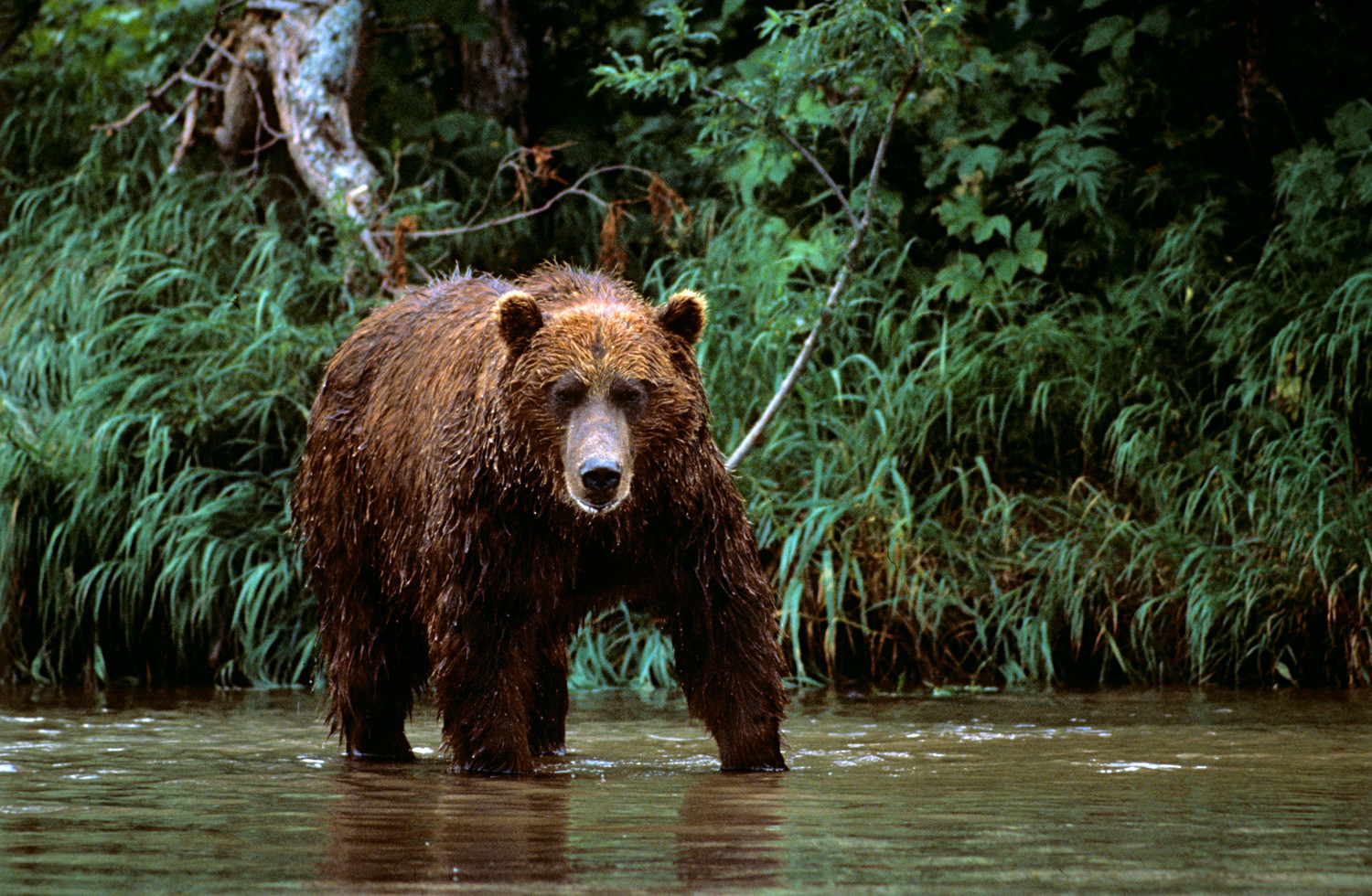 Bear in the South Kamchatka Sanctuary