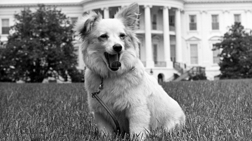 The Soviet dog Pushinka, full of grace and dignity, yawns in front of the White House.