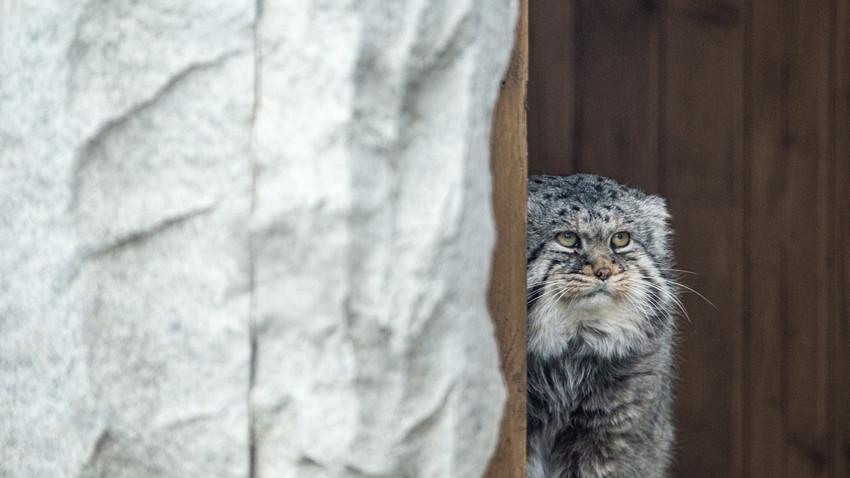Паласовата мачка на почетокот на април