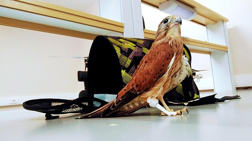 Resultado de imagem para perna artificial para falcão ferido