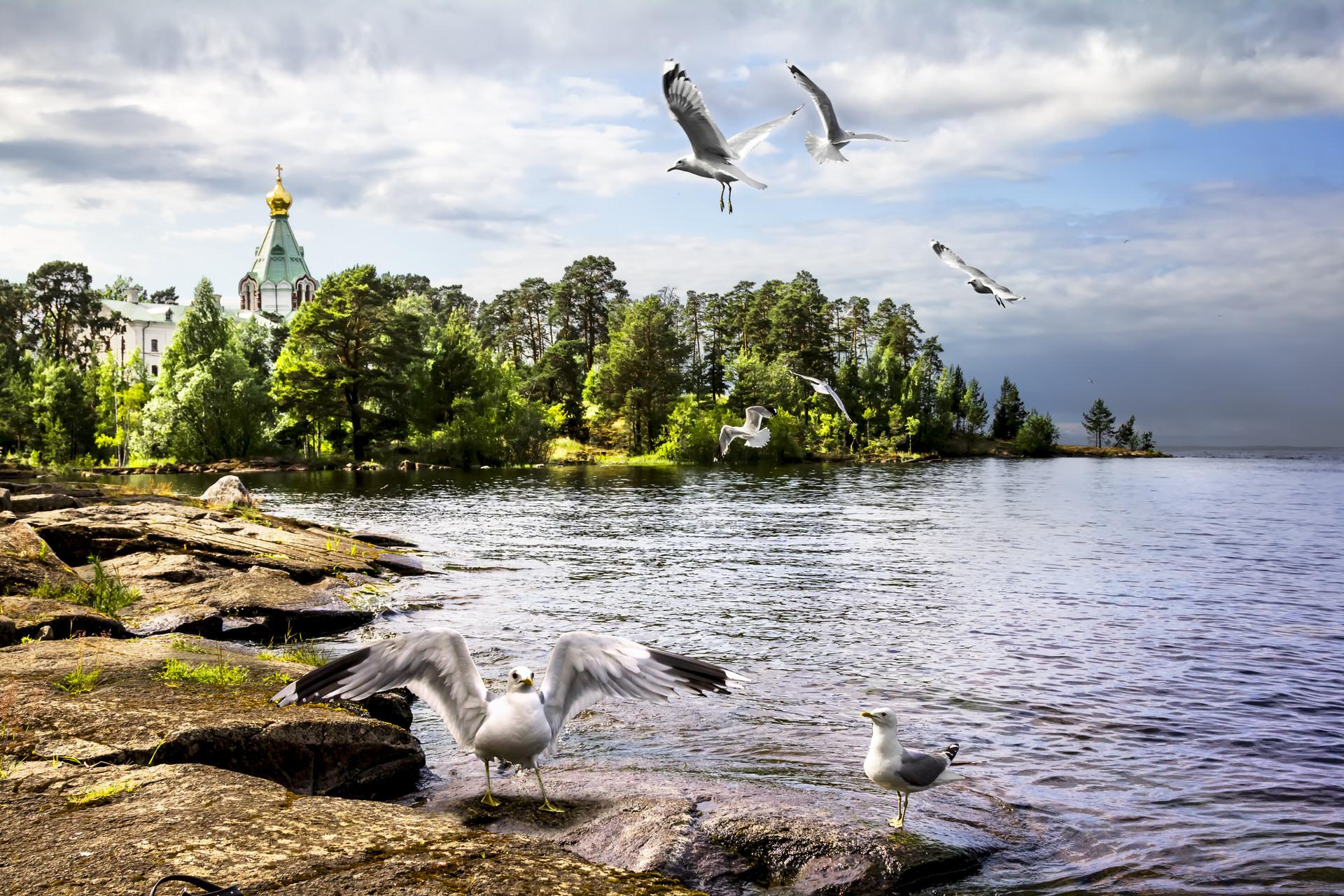 Burung camar di Pulau Valaam, Rusia bagian utara.