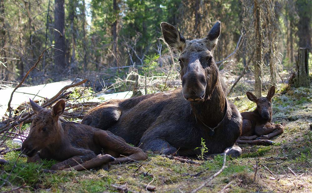Keluarga rusa besar di Cagar Alam Pechoro-Ilychskiy.