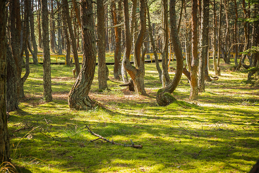 The Curonian Spit's 'dancing' forest