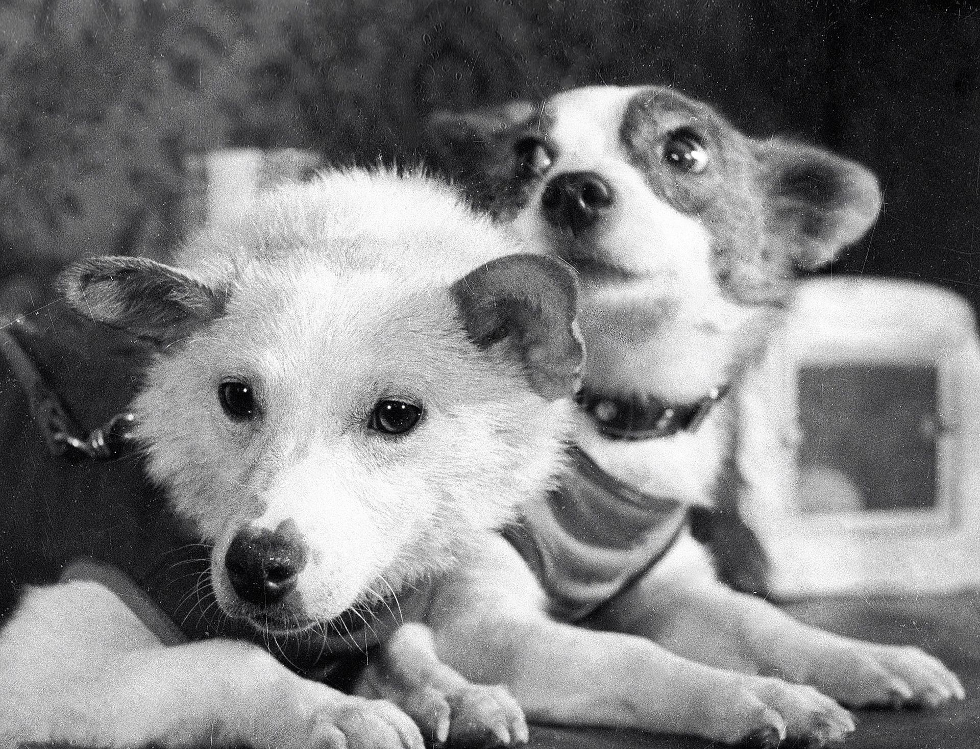 Belka in Strelka, vesoljski pasji popotnici.