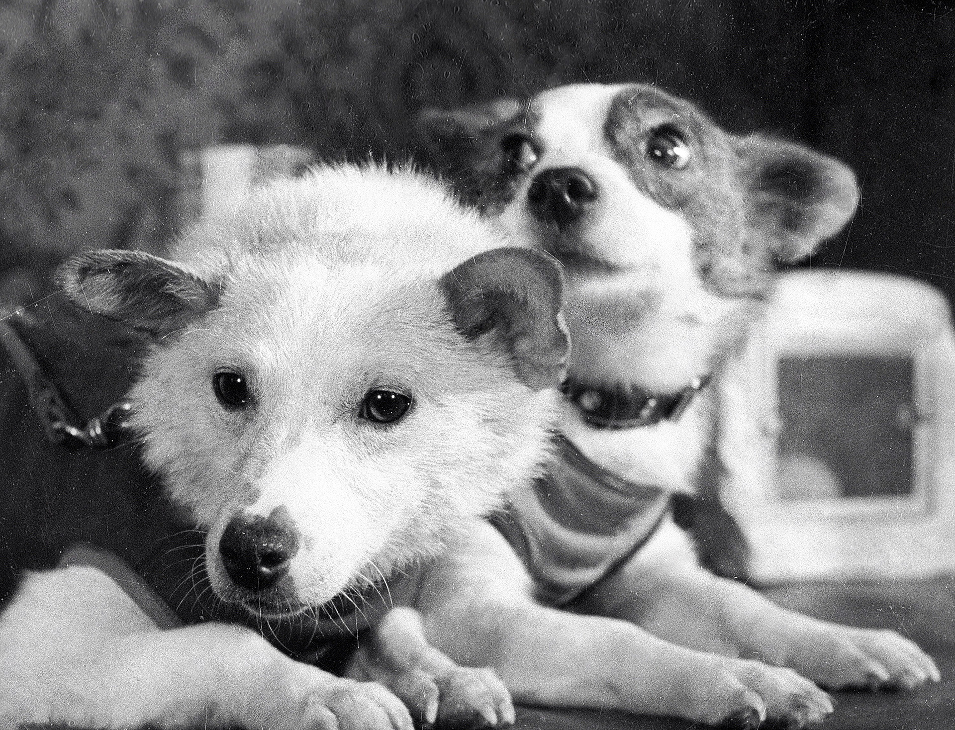 Belka and Strelka. Strelka, Pushinka's mother, is on the right.