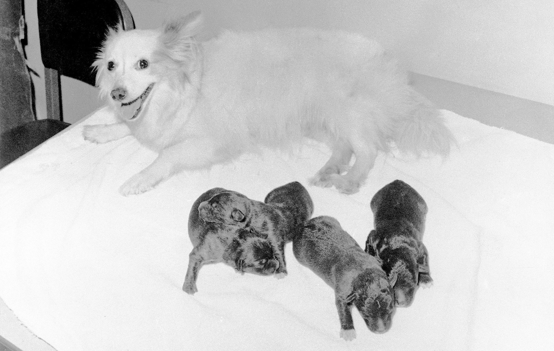 Pushinka with her four pups, two males and two females, fathered by Charley, the Kennedy's Welsh Terrier.
