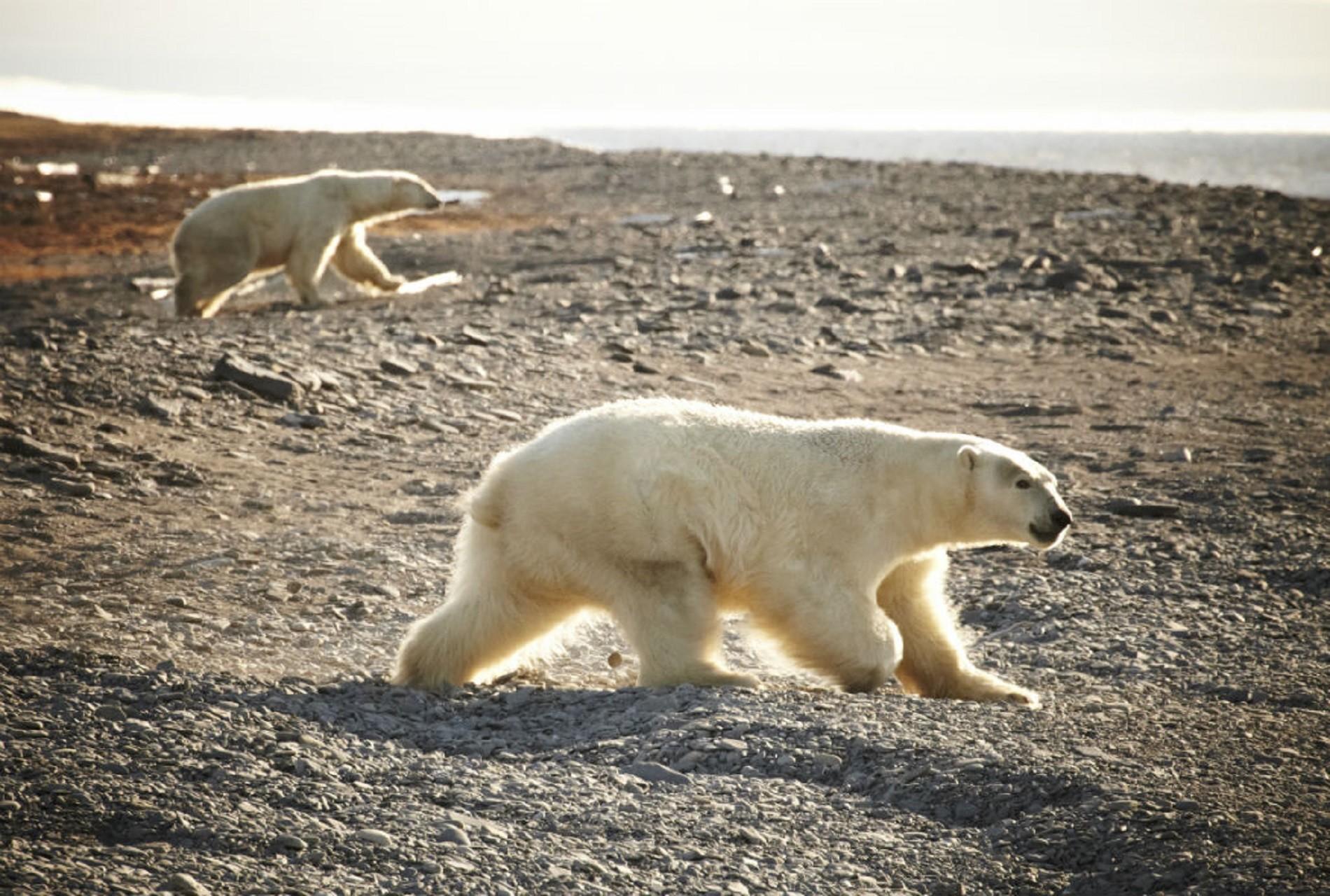 La única muestra de la llegada de la primavera son las huellas de los osos polares, que acaban su hibernación.
