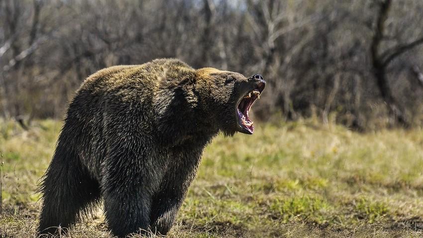 Medveda nikoli ne glejte v oči.