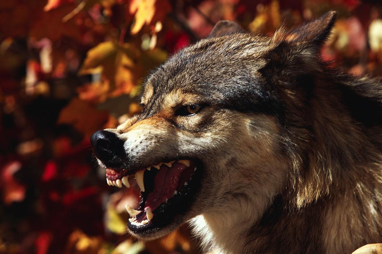 Če srečate volka, je najbolje, da splezate na drevo.