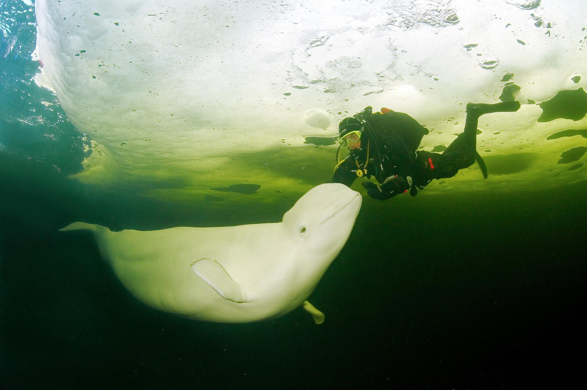 シロイルカとダイビング