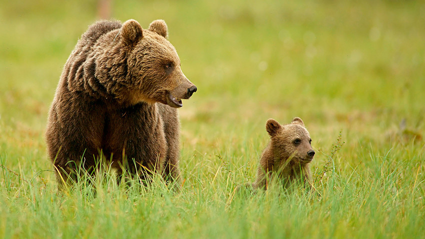 In a bear the mortality rate for cubs is determined mainly by their genotypes and not by accidental causes.
