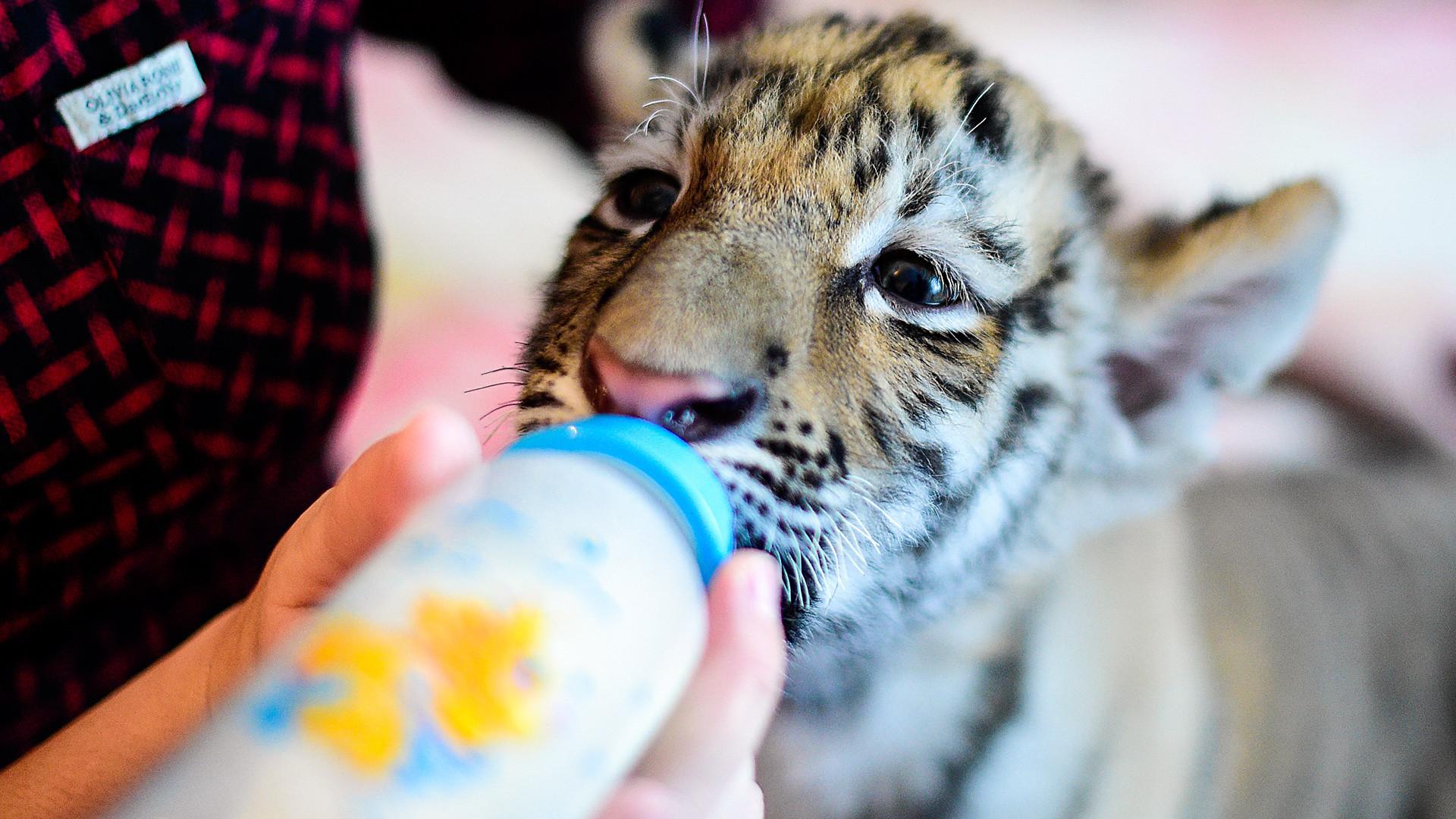 Dokter hewan Vasilina Tataurova memberi makan Sherkhan, seekor anak harimau Siberia berusia dua bulan, di rumahnya di desa Shkotovo. Sherkhan lahir pada September 2016 dari pasangan harimau Siberia Amur dan Ussuri di Taman Safari Primorye.