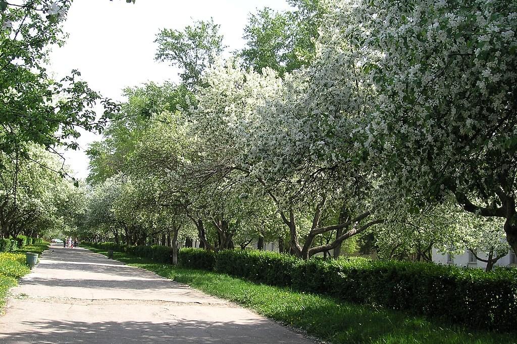Cvetoče jablane v Centralnem rajonu