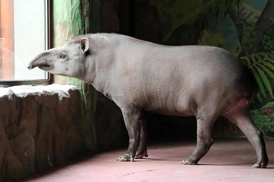 Cleopatra si tapir.