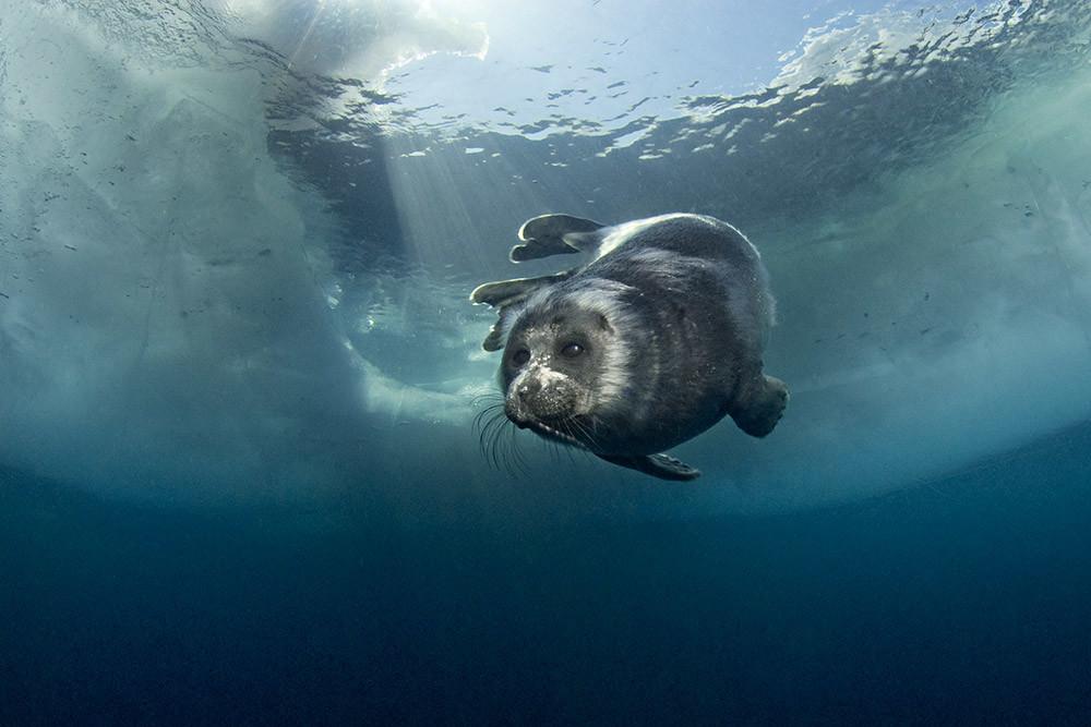 Primavera en la capa de una foca del Baikal.