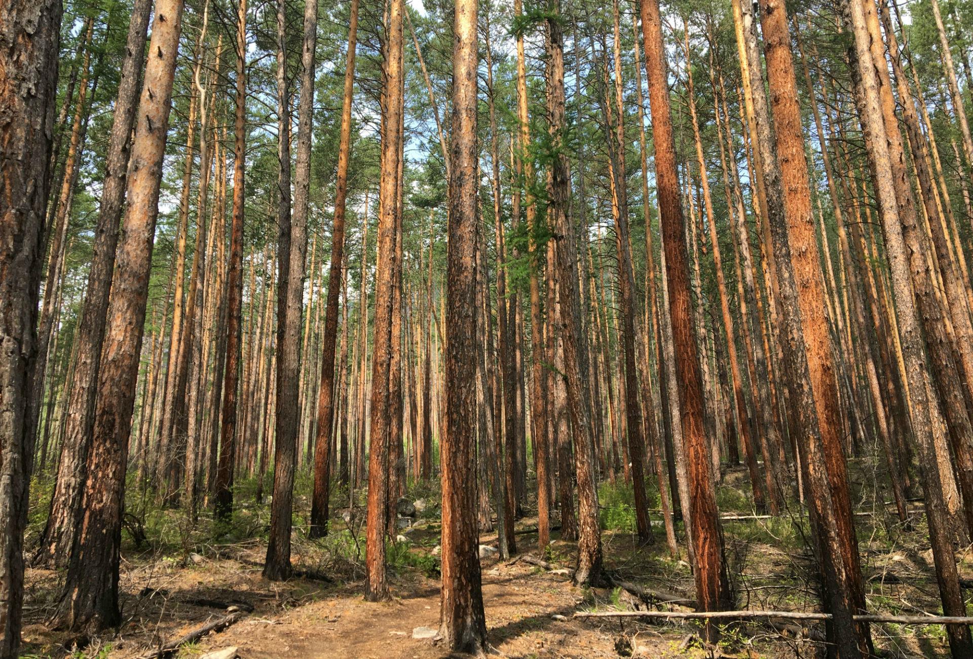 Forêt traversée durant leur randonnée sur la péninsule de Sviatoï Nos.