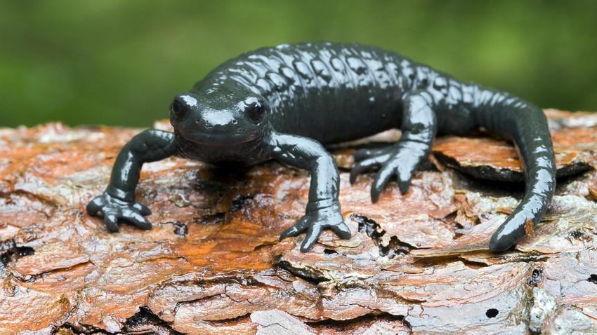 Ao contrário das salamandras, os seres humanos não são capazes de regenerar um membro após uma lesão