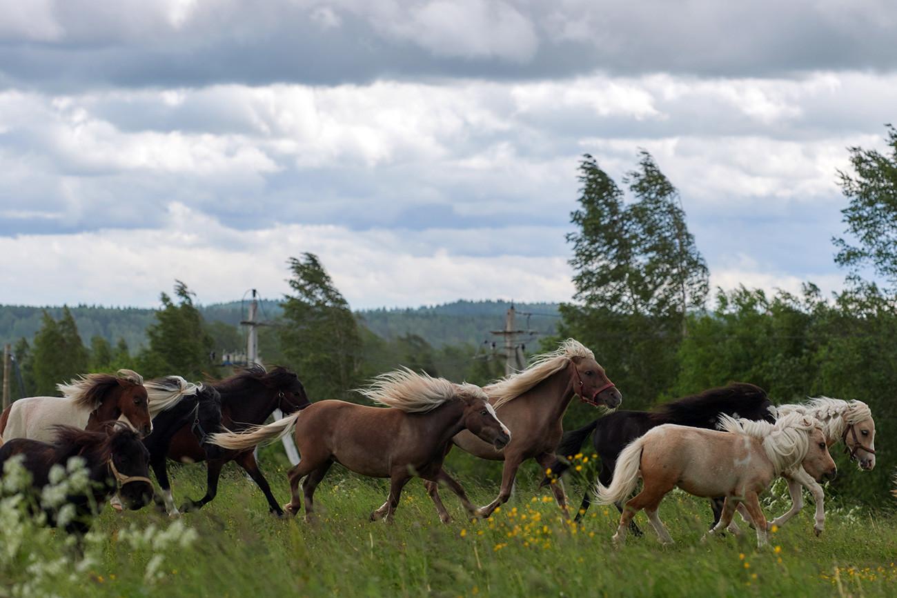 Kuda-kuda di peternakan kuda miniatur AS Hidalgo di desa Skotnoye, Oblast Leningrad.