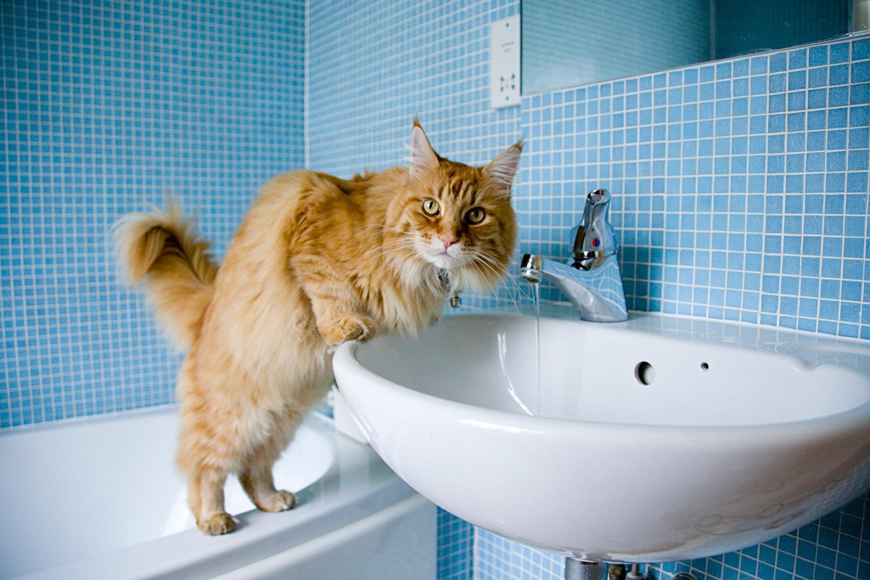 La tercera raza más popular es Maine Coon. Estos gatos cuestan de media 300 dólares.