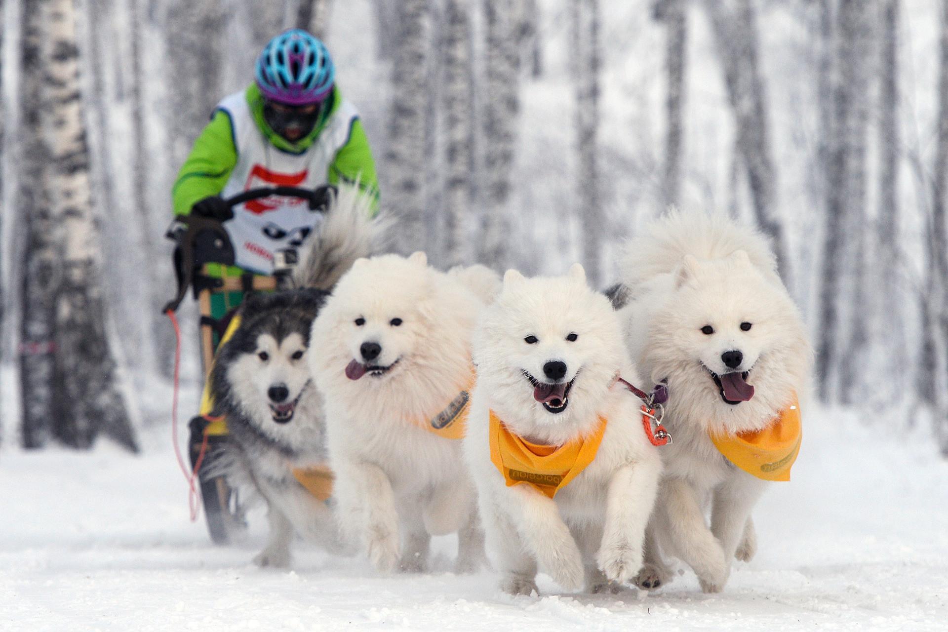 ノヴォシビルスクで行われた犬橇の大会の参加者。