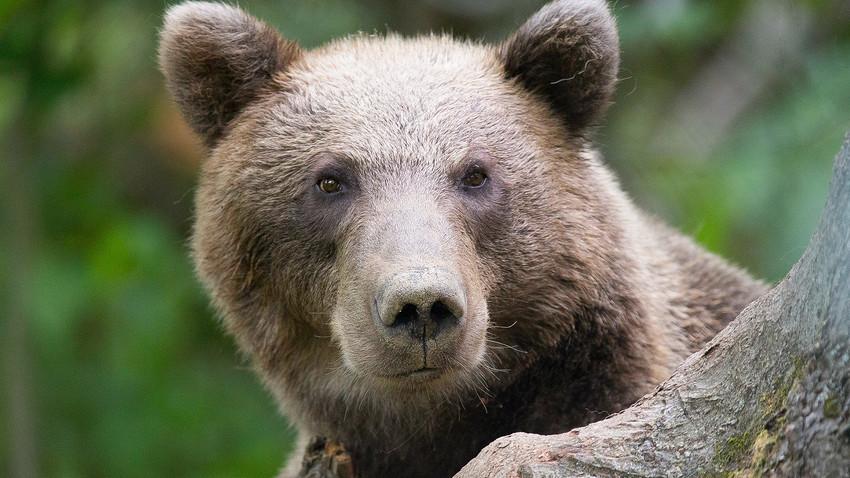 Ursos-pardos podem ser encontradas no leste da Sibéria, Iakútia, Cordilheira de Altai e norte da Mongólia
