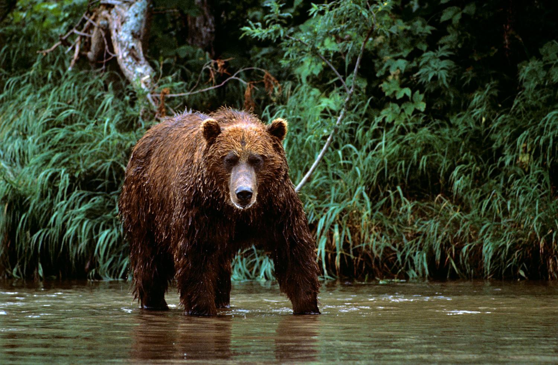 Beruang di Kamchatka Selatan.