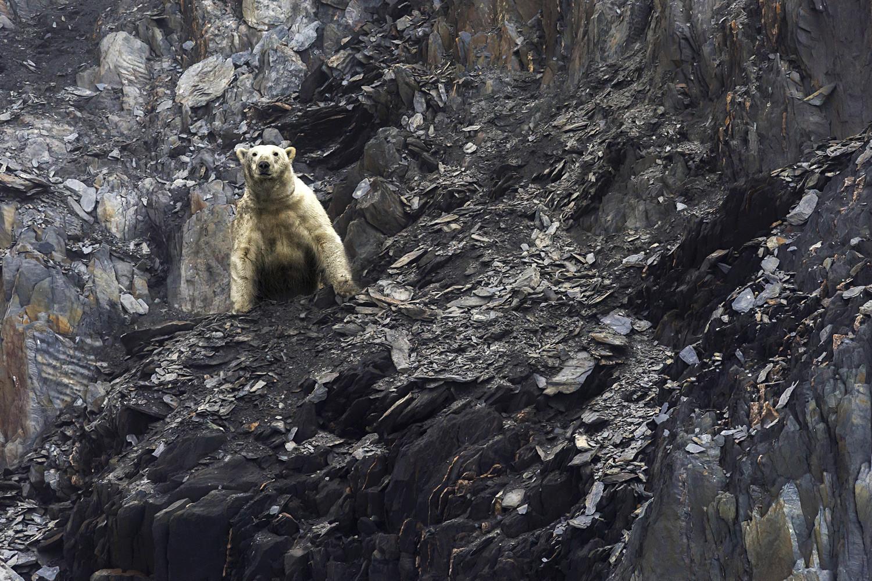 Seekor beruang kutub di Teluk Draga di Pulau Wrangel di Daerah Otonomi Chukotka.