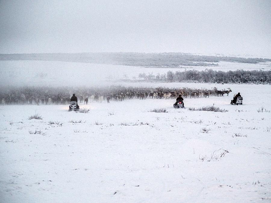 Hari kerja normal: para pria menggiring lebih dari seribu rusa dari tundra ke paddock.
