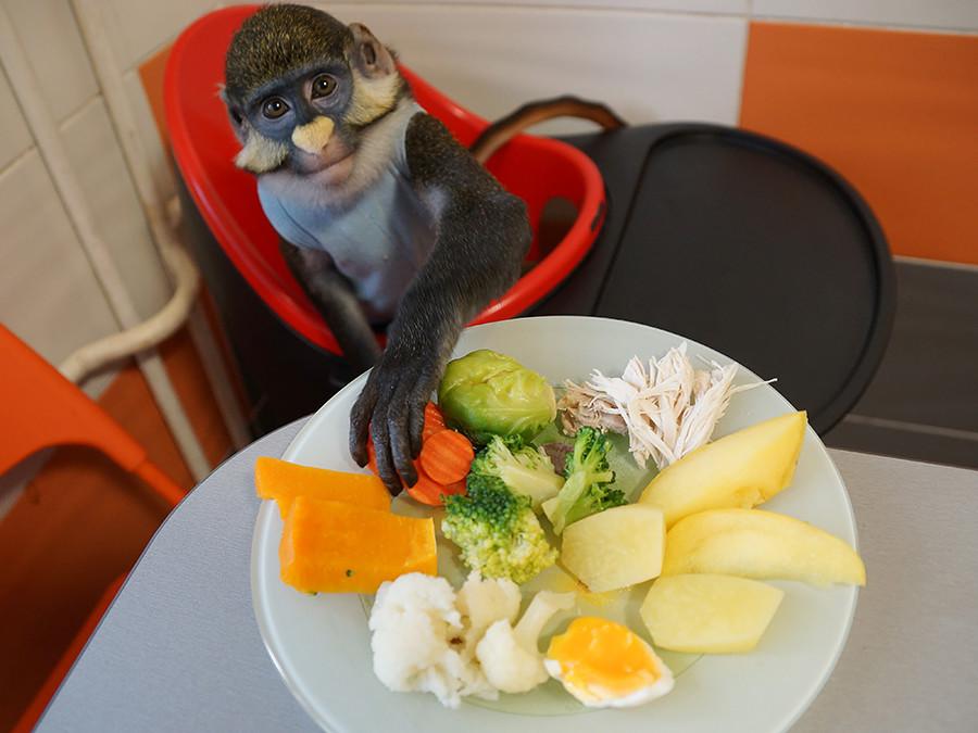 モスクワの家族が飼っているユッピーという4歳のレッドテイル・マーモセットが野菜を食べている。
